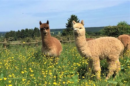 Alpaca farm | East Belgium Alpacas